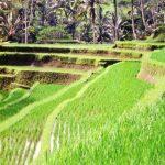 Bali02_paddy_pano