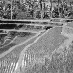 Bali02_paddy_pano_NB