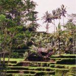 Bali03_paddy_sq