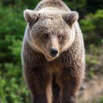 european-brown-bear-in-a-forest-landscape-2SEMKHW-683×1024